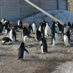 The Cape Adare Penguin Count