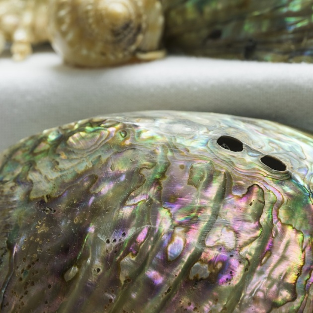 New Zealand Paua Shell