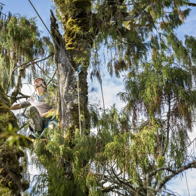 Ecologist Jen Sanger enjoying the canopy of a rimu 45 metres off the ground 1200